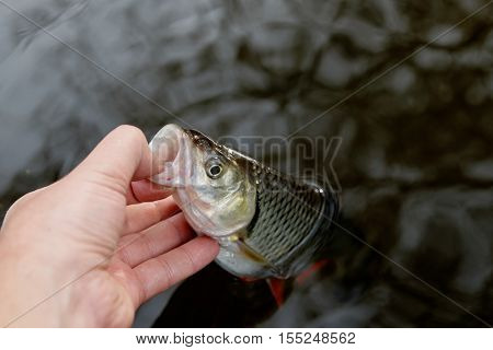 Fisherman is putting a chub out of water by its lower lip