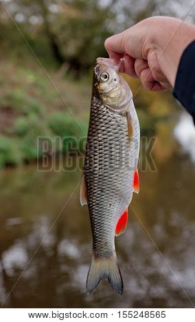 Small chub in fisherman's hand