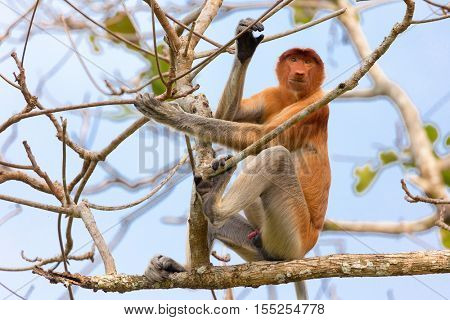 Proboscis monkey climbing tree branches in the wild Borneo jungle