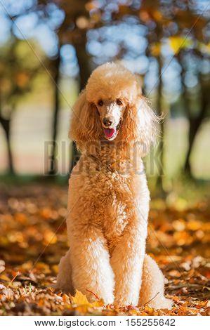 Portrait Of A Royal Poodle