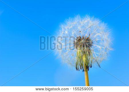Dandelion globular head of seeds on the blue sky background. Summer meadow with blooming dandelion. Beautiful summer field landscape. Copy space.