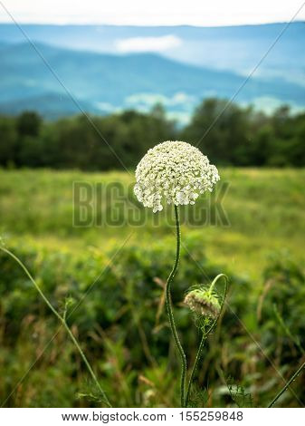 Single white, lacy wildflower in a Shenandoah National Park roadside field
