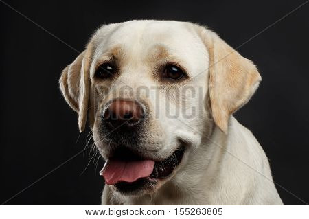 Close-up portrait of beige Labrador retriever dog with curious face in front view isolated black background