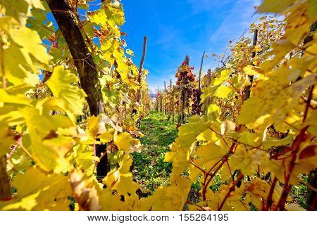 Vineyard in autumn colors view Kalnik wine region of Croatia
