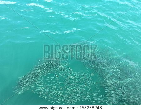 Schooling of fish on the sea surface at tropical zone