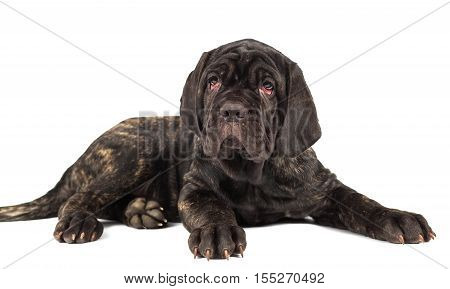 Beautiful young puppy italian mastiff cane corso on white background