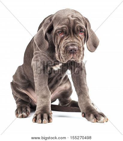 Young puppy italian mastiff cane corso on white background