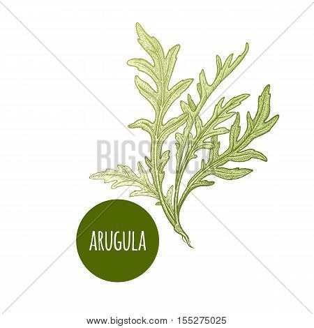 Lettuce arugula. Plant isolated on white background. Vector illustration. Hand drawing style vintage engraving. Greenery for create the menu recipes decorating kitchen items. Vintage.