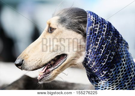Afghan borzoi dog outdoors portrait over blurry background