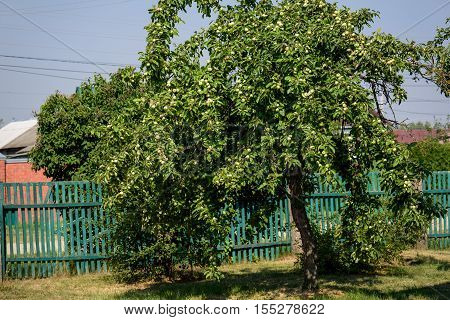 Apple-tree with yet not ripe apples in summer sunny day