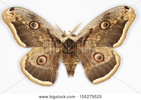 The Great Peacock MothSaturnia pyri on white background
