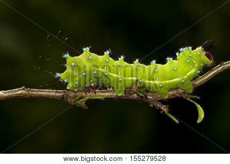 Caterpillar of Great Peacock Moth Saturnia pyri on the branch