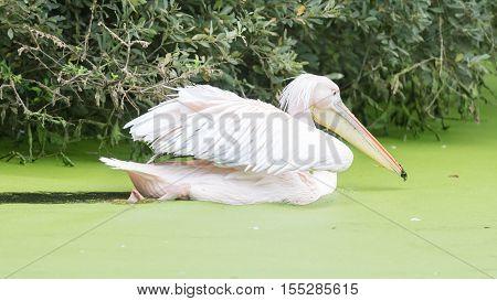 Swimming Pelican, Dirty Water