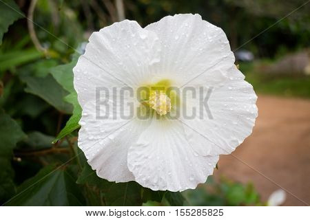 White hibiscus or shoe flower (chaba) stock photo