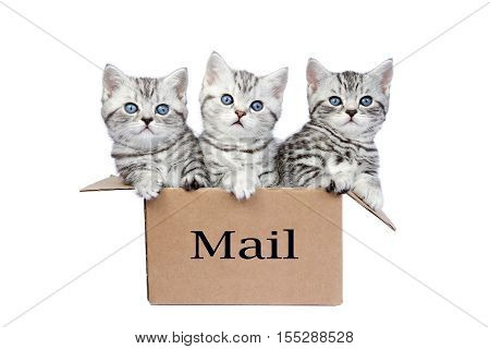 Young black silver tabby cats in cardboard box isolated on white background