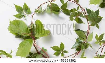 frame Green ivy plant Hedera helix