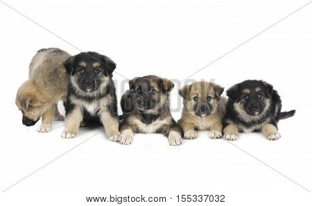 five puppy of 1,5 months old on a white background