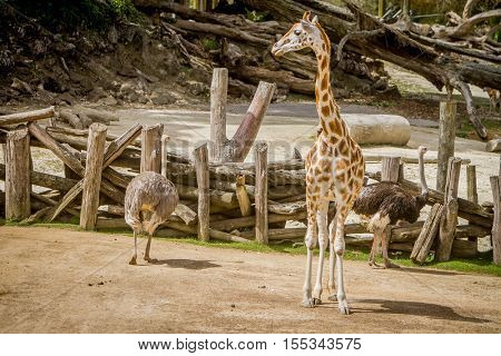 giraffe, zebra and ostrich in a wildlife park, zoo safari