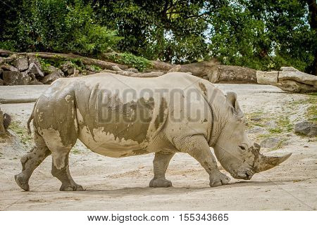 white rhino at zoo