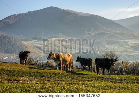 Carpathian rural area behind the village with few cows on meadow in mountains