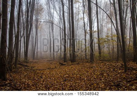 Foggy Forest Trail In Autumn. Leaves line a trail through a foggy forest autumn landscape in autumn.
