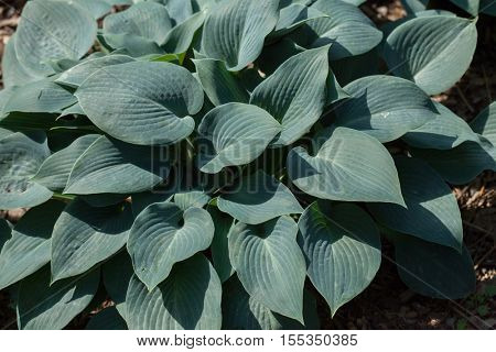 Siebold's hosta (Hosta sieboldiana). Evergreen plant.