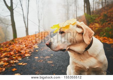 Walk with dog in autumn. Funny old labrador retriever is playing with dry leaf on his head.