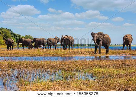 Watering in the  river. Herd of African elephants crossing shallow Delta Okavango. Chobe National Park in Botswana