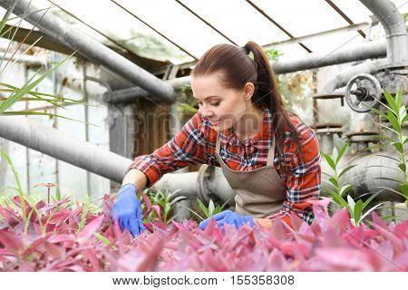 Pretty gardener looking after setcreasea in greenhouse