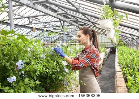 Pretty young gardener looking after decorative plant with blue flowers in greenhouse