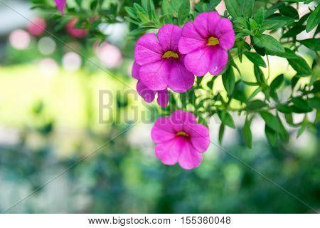 Close up pink flower - Million Bells (Calibrachoa sp.)