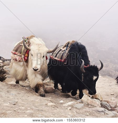 Tibetan yaks in the mist. A black and a white yaks moving.