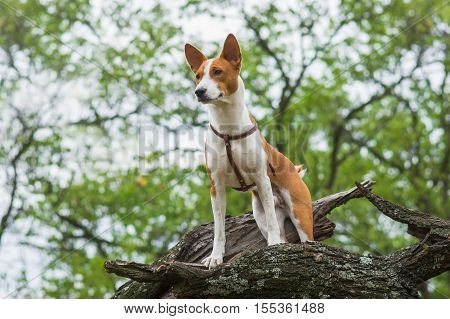 Cute Basenji dog - troop leader on the tree branch looking into the distance