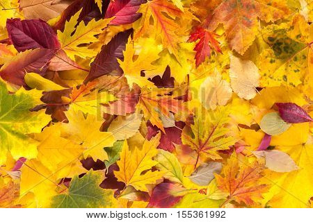 Autumn maple, ash-tree, aspen and oak leaves texture background. Beautiful fall season yellow, red and brown foliage.