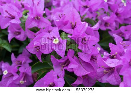 colorful beautiful purple bouganvillea flowers close up