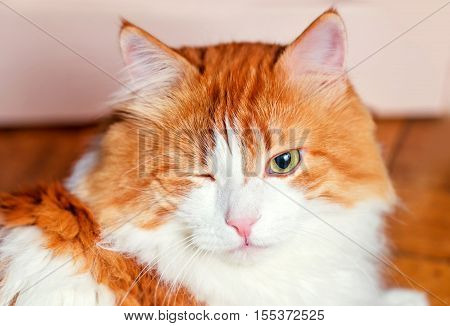 Nice adult red cat with one narrowed eye