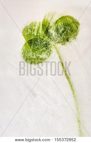 Four leaf clover frozen in winter ice.