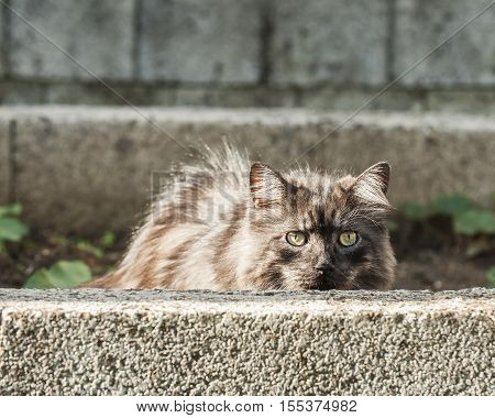 Silver cat is hidding behind a concrete wall.