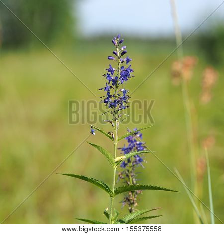 Inflorescence of Veronica from the family of plantain (Yakutia)