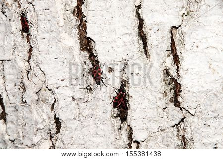 Bedbug-soldier on a tree trunk red-black beetle. Whitening the bark of the old cracked wood for background and texture.