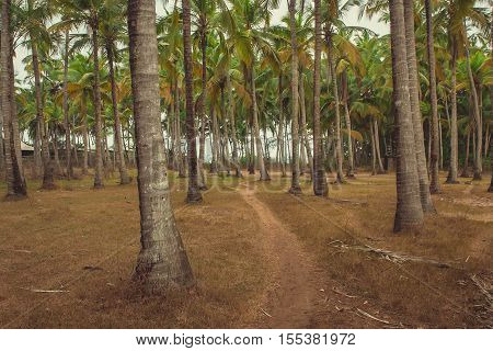 palm grove with a trodden footpath in Goa