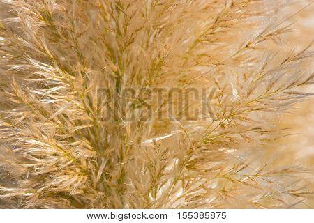 Golden reed or long eared grass texture closeup