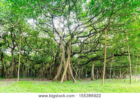 The Great Banyan is a banyan tree (Ficus benghalensis) located in Acharya Jagadish Chandra Bose Indian Botanic Garden Howrah near Kolkata West Bengal India. More than 250 years old.