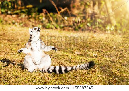 Meditating ring-tailed lemur in rays of light. Space for text.