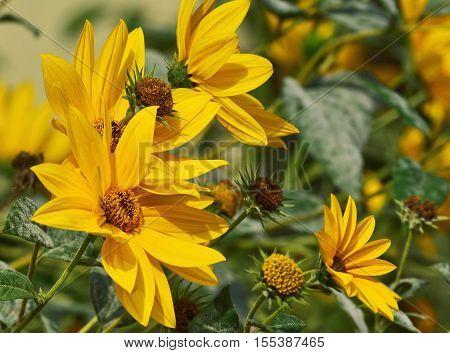 Maximillian sunflower (Helianthus Maximiliani) closeup in the garden
