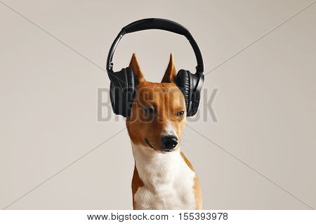 Unhappy looking brown and white basenji in large black hearphones with eyes squinted close up isolated on white
