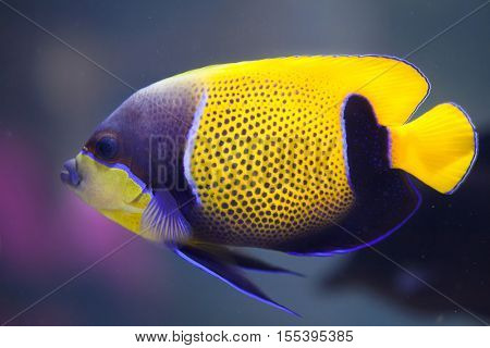 Blue-girdled angelfish (Pomacanthus navarchus), also known as the majestic angelfish.