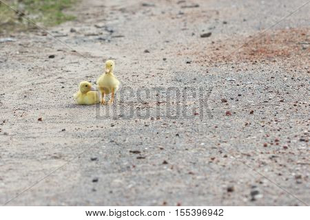 Two Little Duckling Walking On The Road