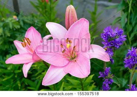 Pink Lily closeup with yellow pistil in the garden