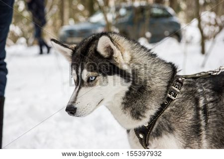 Husky breed dog portrait in winter time